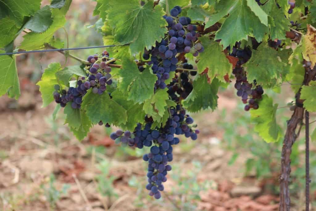 Visit a vineyard in the South of France